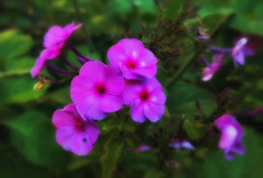 flowers (try...error) Tags: pink green nature autumn herbst leica c clux macro flowers