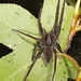 Six-spotted Fishing Spider - Dolomedes triton, Huntley Meadows Park, Alexandria, Virginia