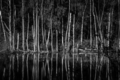 Silver birch (joshdgeorge7) Tags: delamere forest walk autumn october blackandwhite pentax ks2 winter cold silver birh trees swamp dark damp cheshire
