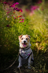Smilin in the Flower Garden (moaan) Tags: kobe hyogo japan jp dog jackrussellterrier kinoko portrait dogportrait flowergarden intheflowergardenden cosmos cosmosflower flower flowering flora autumn october focusonforeground selectivefocus depthoffield dof bokeh bokehphotograohy canon canonphotography canoneos5dsr ef7020mmf28lisiiusm utata 2018