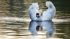 Hug me (Alexandre LAVIGNE) Tags: hdpentaxdfa150450mm hdpentaxdaaf14xaw pentaxk3 cygne ambiance automne lumière nature oiseau saintquentin picardiehautsdefrance