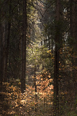 Sugar Pines in Shadow-1 (tanngrisnir3) Tags: yosemitenationalpark yosemite sugarpine california landscape trees contrast sierra d7200 nikond7200 tokina100mm28 forest shadow