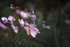 *** (pszcz9) Tags: przyroda nature natura naturaleza zbliżenie closeup kwiat flower beautifulearth sony a77