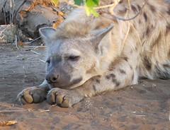 nkheupwolf (Pixi2011) Tags: wildlife krugernationalpark nature africa