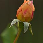 Rose unfolding thumbnail