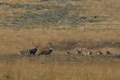 Red Deer rutting (nikodemmatuszkiewicz) Tags: wildlife wild wildlifephotography wildlifebeauty wildanimals animals animalphotography animalplanet animal autumn antlers nature noncaptive naturespectacle mammals majestic moorlandwildlife moorland moors mammal rare rut reddeer ruttingseason deer stag stags hind herd