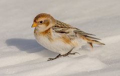 JWL9396  Snow Bunting.. (jefflack Wildlife&Nature) Tags: snow snowbunting buntings birds avian animal animals abernethy wildlife wildbirds wildlifephotography jefflackphotography migrants wintermigrant songbirds cairngorms scotland highlands countryside nature ngc npc