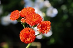 Flower (Hugo von Schreck) Tags: hugovonschreck flower blume blüte macro makro tamron28300mmf3563divcpzda010 canoneos5dsr