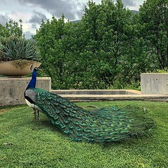 #magestic—————————————————— #southafrica #africa #peacock #tokarawinery #magesticasfuck #apple #iphone #iphoneX #jamiepryerphotography #traveling #awesome_earthpix #wondermore #theglobewanderer #discoverglobe #wanderlust #beautifuldestinations #wonderful_ (JamiePryerPhotography) Tags: jamiepryerphorography photography nikon nikkor d800 jamiepryer