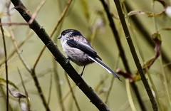 Stayed still long enough! (pstone646) Tags: longtailedtit bird animal nature fauna tree wildlife kent perched high bokeh feathers