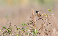 9Q6A5435 (2) (Alinbidford) Tags: alancurtis brandonmarsh nature stonechat wildbirds wildlife