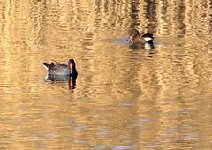 Moorhen (1) (grahamh1651) Tags: marazion longrockpool birds waterbirds swans mountsbay grebes