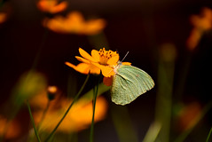 Butterfly on cosmos flower! (SHAN DUTTA) Tags: butterfly with flower butterflywithflower nikon d5300 nikond5300
