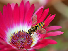 A syrphid fly on livingstone daisy (conall..) Tags: fly diptera syrphis flower dorotheanthus bellidiformis dorotheanthusbellidiformis livingstone daisy closeup raynox dcr250 macro county down tullynacree nw551041 annacloy garden northernireland patio pot