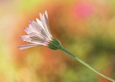 Daisy (mclcbooks) Tags: flower flowers floral macro closeup daisy daisies denverbotanicgardens colorado bokeh