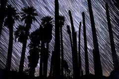Star Trails Behind Palm Trees at Corn Springs, California (slworking2) Tags: startrails starstax night nighttime desert cornsprings desertcenter palm oasis palmtree palmtrees astronomy stars sky