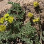 desert parsley, Lomatium foeniculaceum subsp. fimbriatum thumbnail