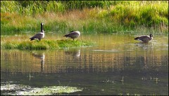 Good Morning Geese (Suzanham) Tags: geese canadageese grass morning sunrise water waterfowl bird yellowstonenationalpark nature montana wildllife reeds