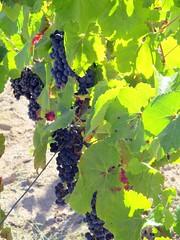 Un futur Grand Cru ? (Sur mon chemin, j'ai rencontré...) Tags: nature raisin vigne vignoble cep grandcru