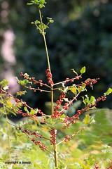 J78A0351 (M0JRA) Tags: flowers plants walks birds woods weeds gardens forest fields lakes ponds water rspb