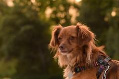 Laika (Hachimaki123) Tags: animal perro dog laika