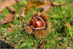 chestnut@serino.av.it (Rinaldofr) Tags: cestnut autumn green shell leaf canon6dmkii canonef24105f4islmkii serino park civita