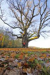 Old Oak (CoolMcFlash) Tags: autumn oak old tree leaves fall person nature canon eos 60d badblumau branches herbst laub eiche alt baum natur fotografie photography sigma 1020mm 35 hug umarmen