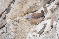 DSC_7032 (P2 New) Tags: 2018 accipitridae accipitriformes animaux date espagne extremadura fauconcresserelette mai oiseaux pays