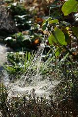 P1130526 (harryboschlondon) Tags: harryboschflickr harrybosch harryboschphotography harryboschlondon october2018 october 2018 21stoctober2018 plantstreesandflowers botanical botanicalphotography nature naturephotography england englandphotography green cobweb spidersweb
