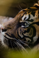 Photo de profil (Scholt's) Tags: tigre tiger bigcat nikon d7000 animal zoo beauval zoobeauval france eyes