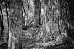 Trees (stephaneblaisphoto) Tags: tree trunk plant forest land nature no people tranquility day beauty growth woodland tranquil scene outdoors bark wood material scenics nonurban bw blackandwhite monochrome