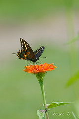 Swallowtail on Zinnia (Diane G. Zooms---Mostly Off) Tags: alittlebeauty swallowtail blackswallowtail zinniawithswallowtail swallowtailonzinnia dianegiurcophotography nature