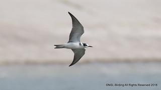 Black Tern, Juv- Chlidonias niger