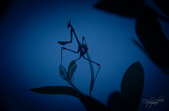 Dragon (luc.feliziani) Tags: mantis insetto macro night olive tree shadows mantide empusa pennata dragon warrior blu black insect