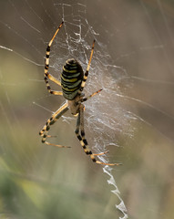 Female Argiope bruennichi (wasp spider) (Anne Richardson) Tags: argiopebruennichi arachnid spider wildlife nature macro macrophotography arne dorset waspspider stabilimentum