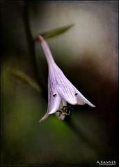 Last Of The Hosta... (angelakanner) Tags: canon70d 50mmlens hosta flowers closeup garden longisland