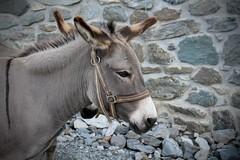 Les ânes de Prafleuri (bulbocode909) Tags: valais suisse prafleuri cabanedeprafleuri valdhérémence hérémence ânes murs pierres montagnes nature animaux