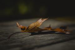 Leaf ... (Julie Greg) Tags: leaf nature nautre autumn details colours canon table park england kent autumn2018