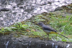Grey wagtail (Roger Bunting) Tags: chesterfieldcanal greywagtail worksop