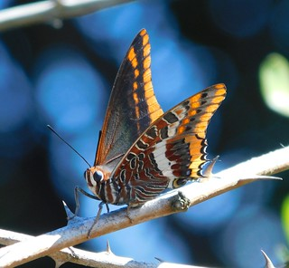 Arbutus butterfly