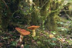 Suillus luteus (Alberto Lacasa) Tags: pirineos altogallego yosa narture valledetena forest pyrenees bosque naturaleza setas mushroom pieazul huesca hongos
