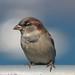 Local bird, Marina, San Francisco DSC_0190