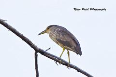IMG_9291 (nitinpatel2) Tags: bird nature nitinpatel