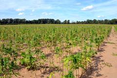 Hemp_Field_41 (DATCP Gallery) Tags: wisconsin hemp crops agriculture vegetation divisionofagriculturaldevelopment datcp plants usa