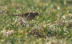Mipit (Gary Watson) Tags: canon 7d cano500f4 1x4tc north norfolk cley walsey hills snipes marsh coastal