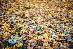 Autumn fall (donnicky) Tags: autumn bokeh closeup daylight dof evening fall fillingtheframe grass land landscape largegroupofobjects leaves nature nopeople outdoor park publicsec selectivefocus yellow паркинтернационалистов d850