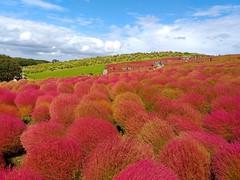 Hitachi Seaside Park (rodliam) Tags: hitachiseasidepark katsuta kochia autumn