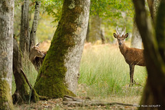 Intimité (patoche21) Tags: animal animalsauvage bourgogne bourgognefranchecomte cervide europe faune france nature naturel paysage treigny yonne animalier daguet forêt parc regard réserve sousbois deer wild patrickbouchenard park reserve wood forest burgundy