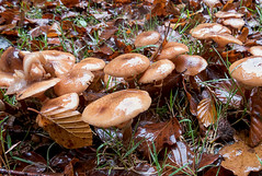 Honey Fungus? (Chalto!) Tags: franchiseslodge rspb wiltshire newforest mushroom fungus fungi toadstool
