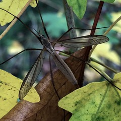 Just Resting (Mellisapix) Tags: britishwildlife wildlife wings fly bug insect cranefly autumn leaf leaves nature 2018